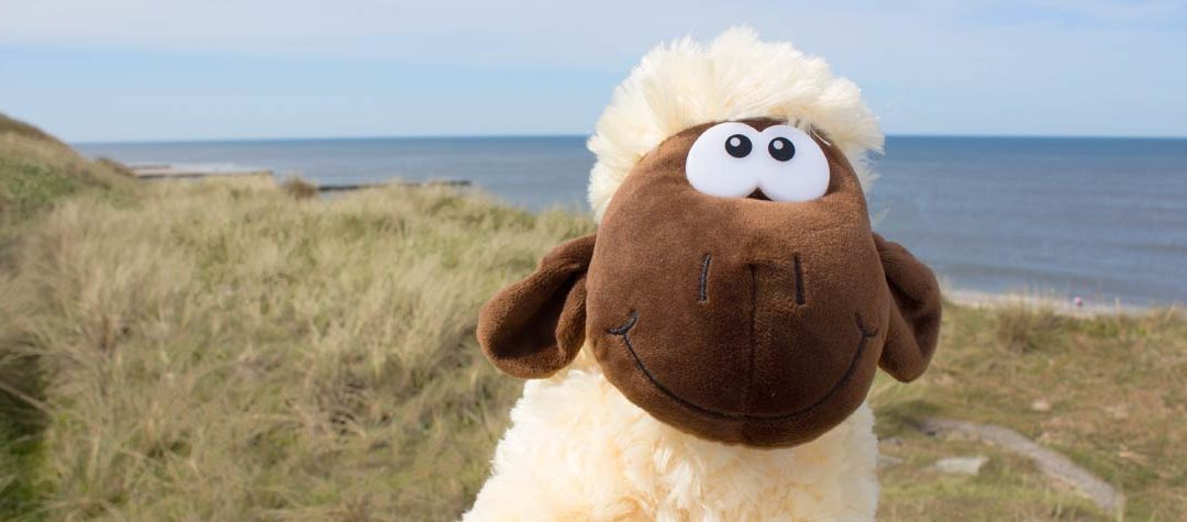 Ein schlaues Sylter Schaf …
